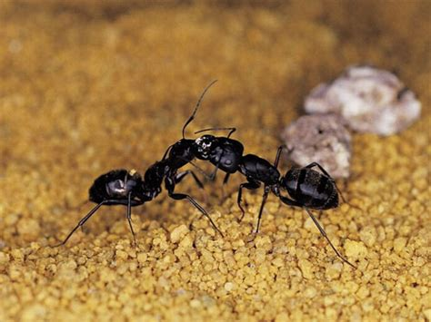 ants in the house how to get rid of ants in the house preventive measures to take and repellents to use