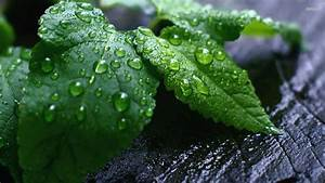 Water drops on green leaves wallpaper - 818497