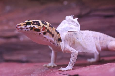 do leopard geckos shed shedding dreams meaning interpretation and meaning