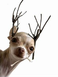 Merry Christmas Reindeer Chihuahua With Stick Antlers