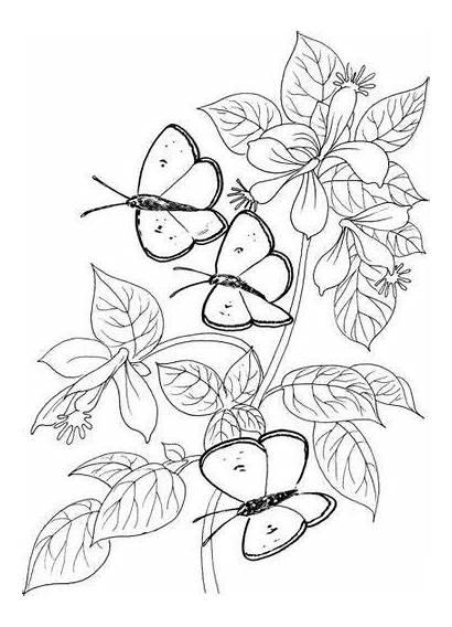 Mariposas Dibujos Flores Plantillas Imprimir Colorear