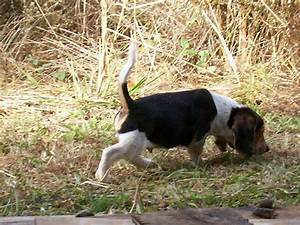 A good rabbit hunting Beagle White tail tip in the air ...