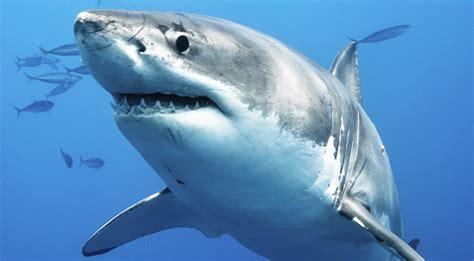 Tiger Shark Diving Bahamas
