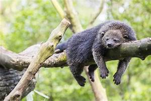 Binturong Bearcat