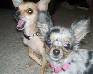 Blue Merle Teacup Chihuahua