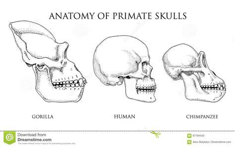 Ziemlich Gorilla Schädelanatomie Zeitgenössisch