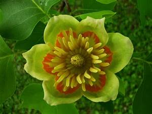 Tulpenbaum Blte Foto Bild Pflanzen Pilze Flechten