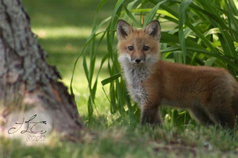 The Fox In My Backyard  Enjoy The View