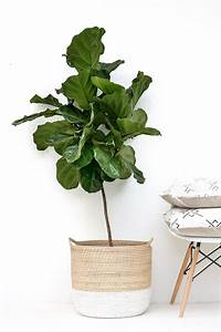 fiddle leaf fig tree Fiddle Leaf Fig Tree Care Tips – HALFWAY WHOLEISTIC