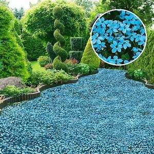 Bodendecker Blaue Blüten : bodendecker blauer stern online kaufen bei ahrens sieberz ~ Frokenaadalensverden.com Haus und Dekorationen