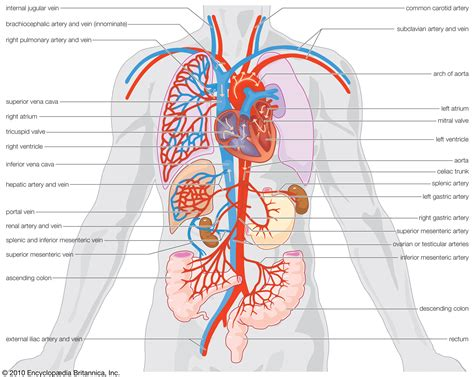 circulatory system anatomy britannica