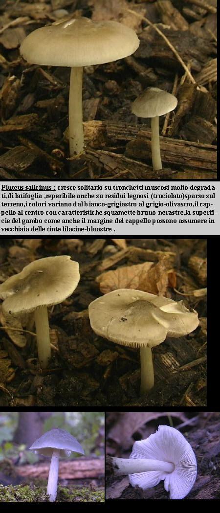 pluteus salicinus mushroom hunting  identification