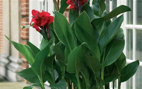 botanical  canna indica purpurea common  canna