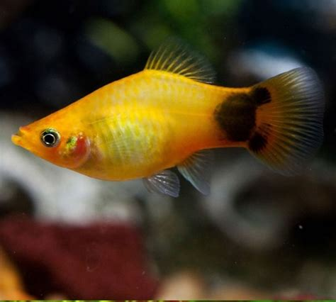 platy mickey jaune 3 3 5cm poissons eau chaude platys monpoissonexotique aquariophilie
