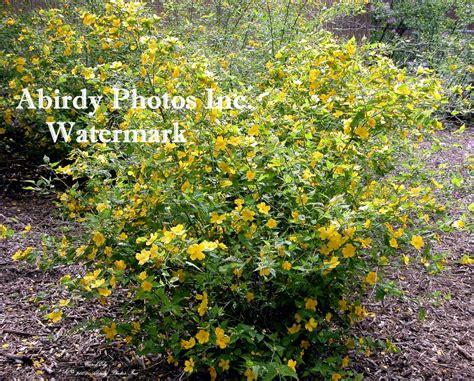 yellow blooming bushes plants flowering shrubs bushes