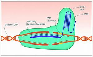 Ensuring Efficiency In Crispr Gene Editing
