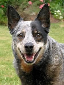 Australian Cattle Dog   Dog Breed Gallery