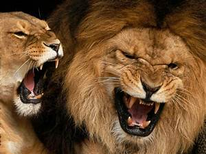 Funny Animals Funny Pictures: Lions Roaring Funny Pictures