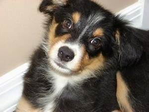 Border-Aussie Dog Breed Information and Pictures
