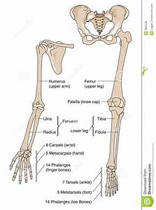 Limb Bones Royalty Free Stock Photos