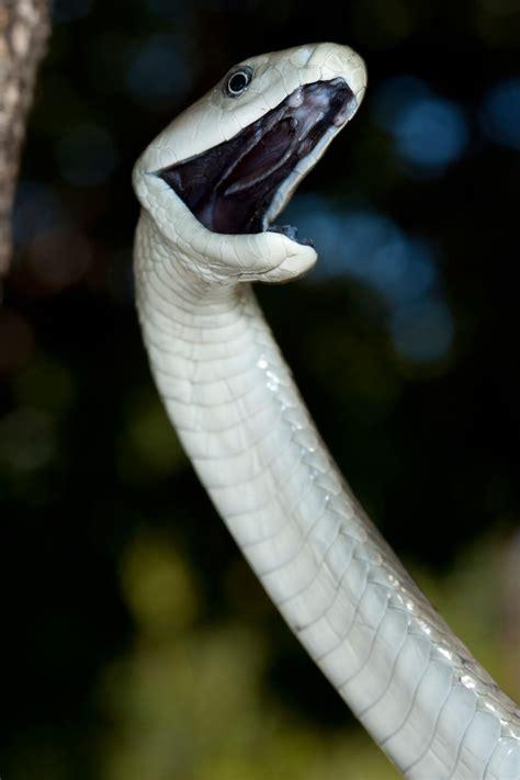 snakebite africa geographic magazine