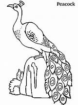 Peacock Coloring Pages Peacocks Printable Birds Drawing Colouring Realistic Animals Animal Bird Clipart Adult Peep Feather Adults Wide Kleurplaten Pauw sketch template