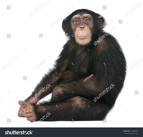 Young Chimpanzee sitting - Simia troglodytes (5 years old ...