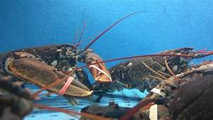 Lobsters In Water Tank At Fish Farm Stock Footage Video ...