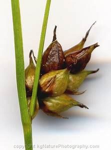 Photos and Characteristics of Carex oligosperma ~ fewseed ...
