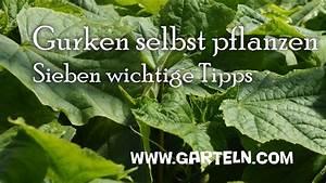 Gurken Pflanzen Gewächshaus : gurken pflanzen 7 tipps von der aussaat bis zur fruchtfolge youtube ~ Pilothousefishingboats.com Haus und Dekorationen