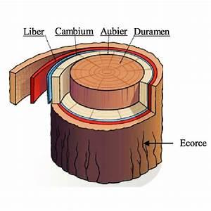 Comment Creuser Un Tronc D Arbre : 1 coupe transversale d 39 un tronc d 39 arbre download scientific diagram ~ Melissatoandfro.com Idées de Décoration