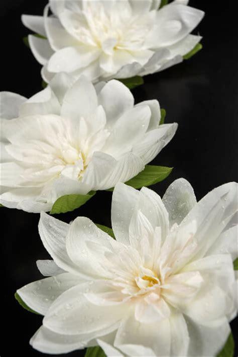 floating white lotus flowers  rain drops