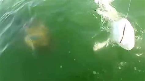 shark fishing goliath grouper tip bite eating