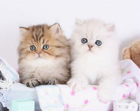 teacup cats teacup persians for teacup kittens for