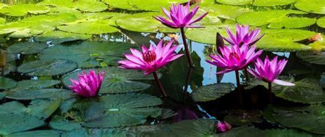 mengenal ciri ciri bunga teratai manfaatnya kang