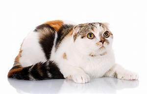 Weißer Wurm Katze : fotos von schottische faltohrkatze katze tiere starren wei er ~ Markanthonyermac.com Haus und Dekorationen