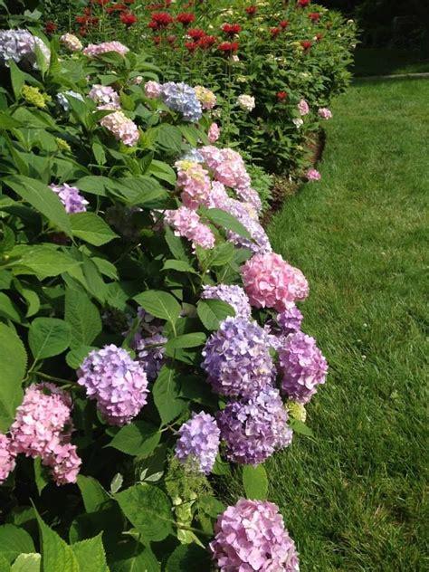 hydrangeas for shade pin hydrangea full sun part shade well drained soil shrub on pinterest