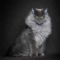 coon cats maine coon cats photographed as majestic mythical beasts
