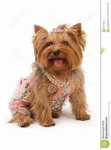 Yorkshire Terrier Dog In Fancy Clothes Stock Photo - Image ...
