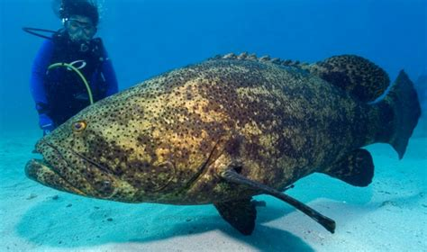 grouper goliath fish groupers