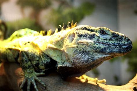 picture colorful lizard exotic reptile