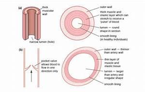 Arteries Vs Veins