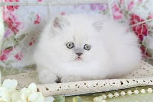 Lilac Persian Kittens - Lilac Persian Cats - Lilac ...