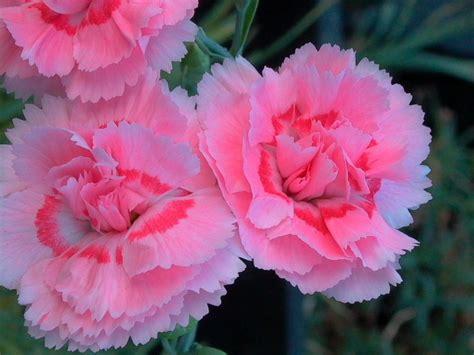Nelken Pflanzen Kaufen by Feder Nelke Maggie Dianthus Plumarius Maggie