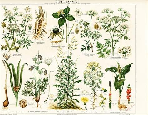 poisonous plants poisonous plants arum naked lady hemlock pulsatilla