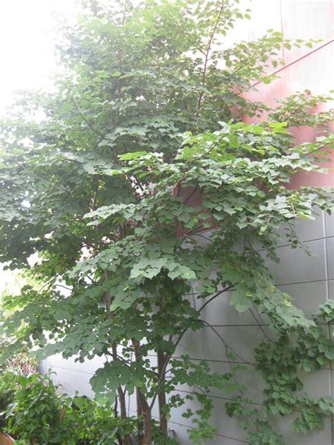 welche pflanze ist das welcher baum ist das gt tilia sp