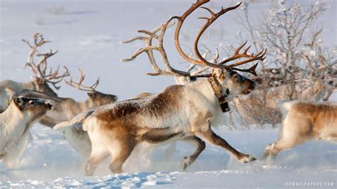 Reindeer Wallpaper Hd reindeers wallpapers wallpaper cave