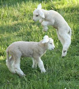 Baby Lambs Jumping | www.imgkid.com - The Image Kid Has It!