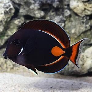 Aquarium Size Chart Saltwater Aquarium Fish For Marine Aquariums Achilles