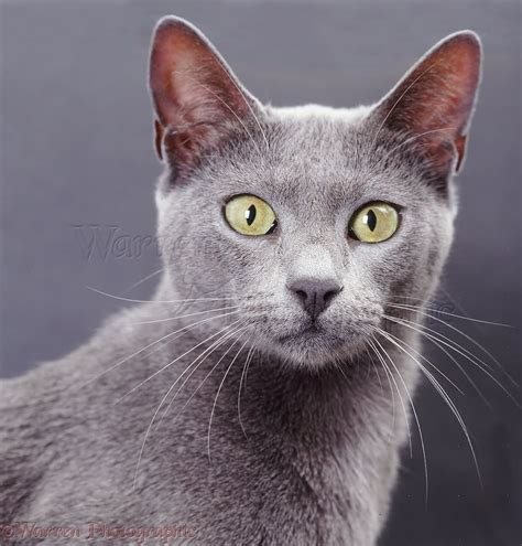 26 Adorable Grey Burmese Pictures And Images